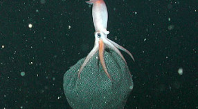 MBARI's remotely operated vehicle Tiburon captured this photograph of a female Gonatus onyx carrying a large egg mass, which is suspended from hooks on the squid's arms. In this photograph, the squid is apparently using its arms to pump fresh water through the egg mass, causing it to inflate. Image: (c) 2002 MBARI