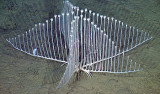 chondrocladia-350