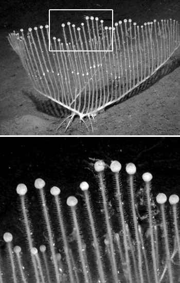 The upright branches of harp sponges are covered with Velcro-like hooks for ensnaring their prey. These extremities also typically end in a swollen ball, where packets of sperm are produced and released. Photo: © MBARI 2005