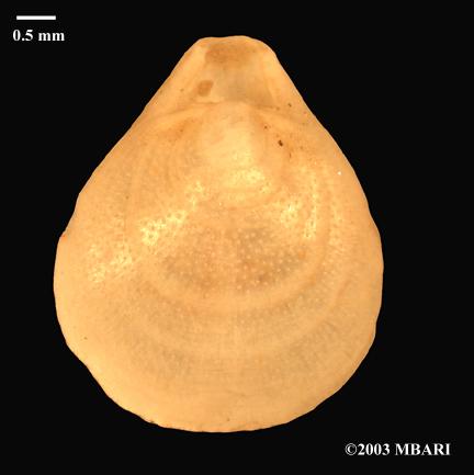 <em>Laqueus californianus</em>