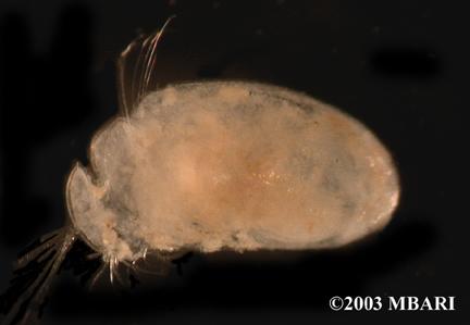 <em>Myodocopida</em> sp. 1