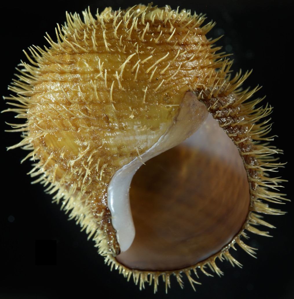 For example, molecular analyses conducted by Shannon Johnson identified five new species of Alviniconcha snails living at hydrothermal vents in the Indian and western Pacific Ocean. The hairy