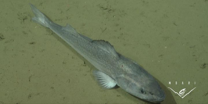 Sablefish <br> <em>Anoplopoma fimbria</em>