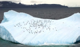 Iceberg with chinstrap and gentoo penguins; King George Island is in the background. Photo by Debbie Meyer.