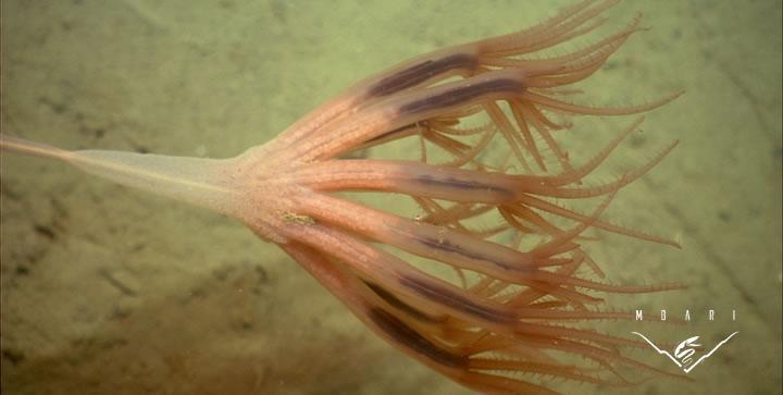 Droopy Sea Pen <br> <em>Umbellula lindahli</em>