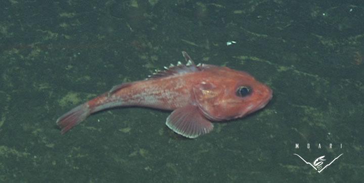 Thornyhead Rockfish<br> <em>Sebastolobus</em> sp.