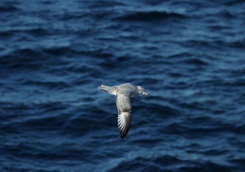 An Antarctic Fulmar is captured in action as it flies past the ship. Photo by Kim Reisenbichler.