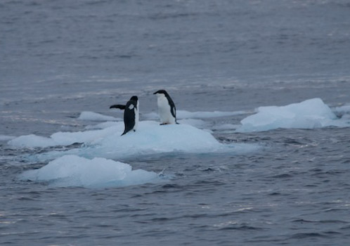 Adele penguins catch a ride on a chunk of ice floating nearby. Photo by Debbie Nail Meyer.