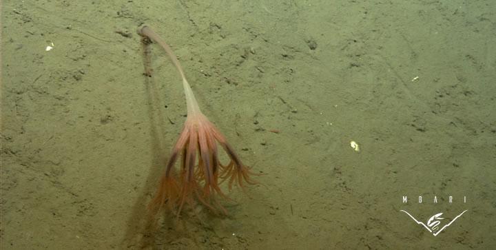 Droopy Sea Pen<br> <em>Umbellula lindahli</em><br>