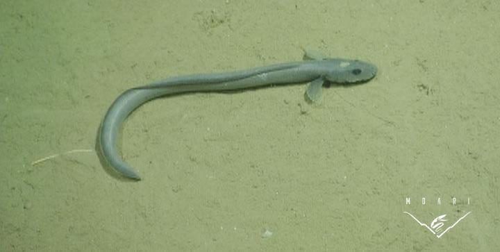 Snake Eelpout<br> <em>Lycenchelys</em> sp.