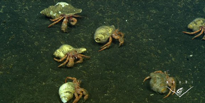 Hermit Crabs <br>Family Diogenidae