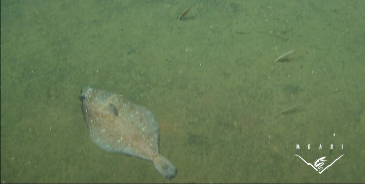 Dover Sole<br> <em>Microstomus pacificus</em>
