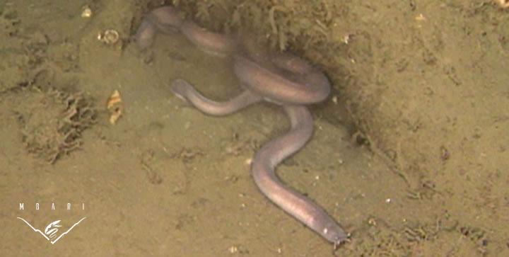 Hagfish<br> <em>Eptatretus stoutii</em>