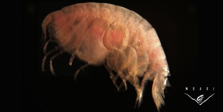 Amphipoda<br> Family Lyssianasidae