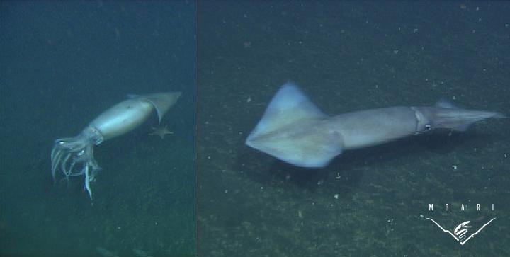 Humboldt Squid<br> <em>Doscidicus gigas</em>