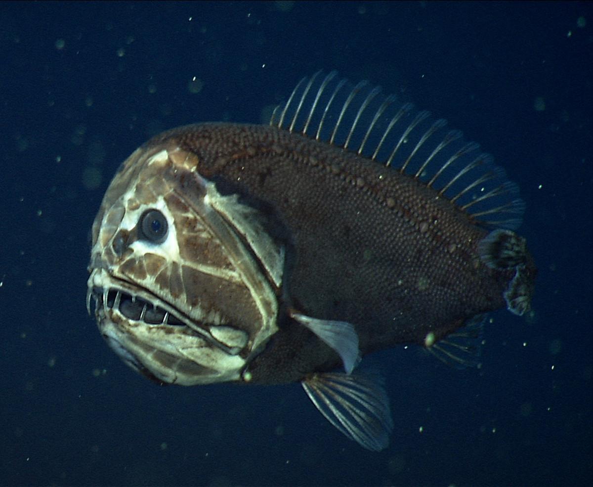 Fangtooth fish