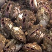 Vesicomyid clam