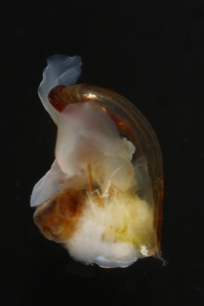 <em>Diacria quadridenatata</em><br>Side view