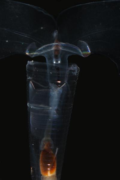 <em>Hyalocylis striata</em><br> Close-up