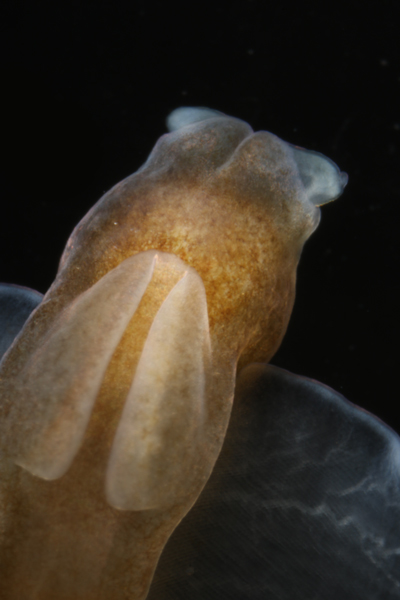 <em>Pneumodermopsis sp. 2</em>