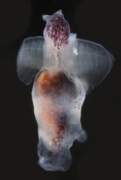 <em>Pneumodermopsis sp. 4</em>