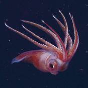 <em>Octopoteuthis</em>