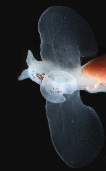 <em> Gymnosomata  These pteropods lack a shell and feed exclusively on shelled pteropods     Images © Stephanie Bush     Cliopsis krohni	Cliopsis krohni	Cliopsis krohni	Cliopsis krohni Notobranchaea macdonaldi	Notobranchaea macdonaldi	Notobranchaea macdo