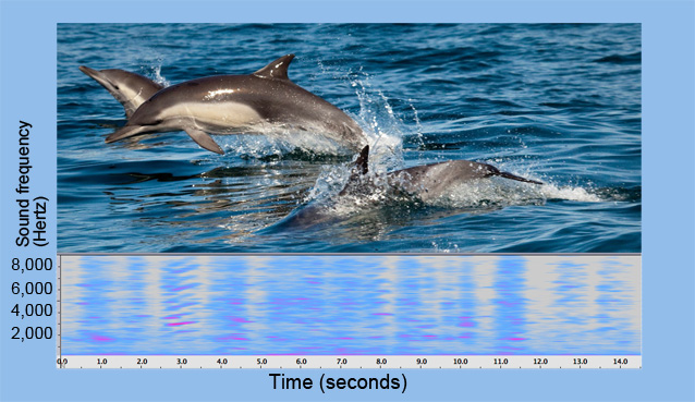 Photo of dolphins and spectrogram of dolphin calls