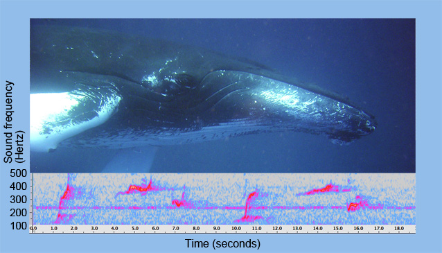 Humpback whale photo and spectrograms of whale calls