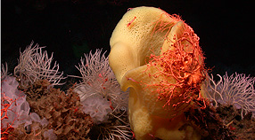Sponges and basket star on Davidson Seamount. Image (c) NOAA/MBARI