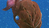 This close up view shows a vampire squid using its arms to scrape food off of one of its filaments. Image: © 2008 MBARI
