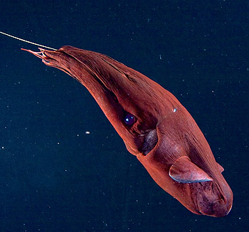 Vampyroteuthis swimming