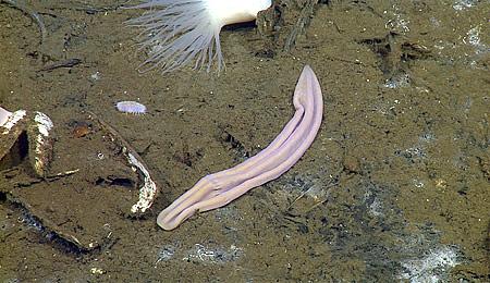 Xenoturbella profunda worm in the Gulf of California.