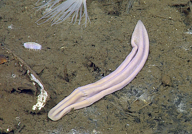 Xenoturbella profunda worm in  the Gulf of California
