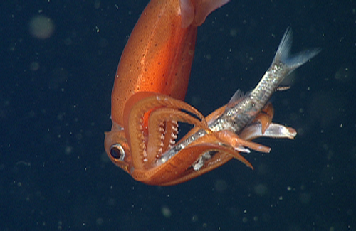 Gonatus squid feeding on a myctophid fish.