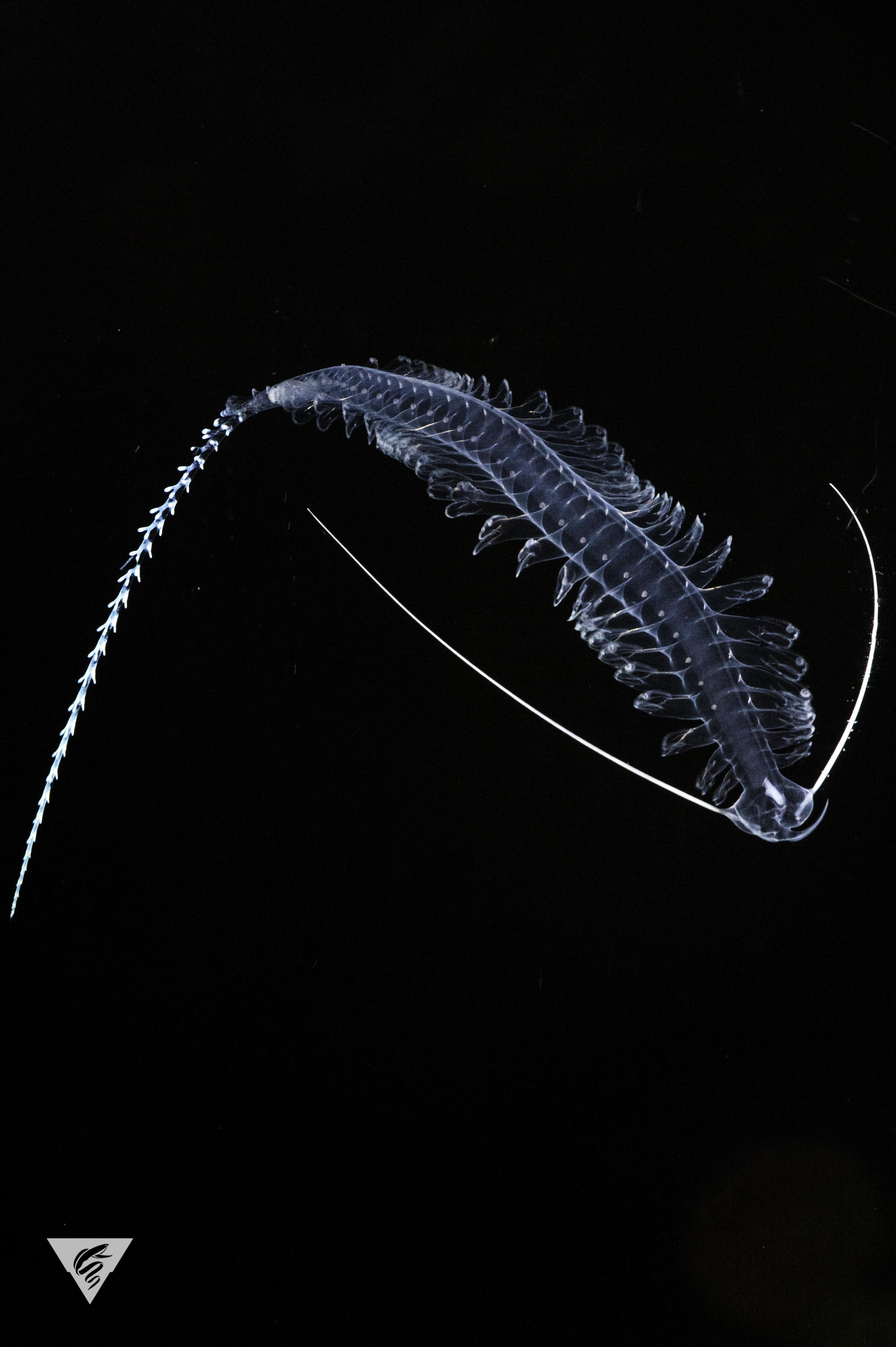 Tomopteris sp.