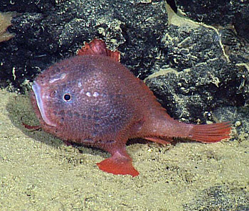 The deep-sea angler fish Chaunacops coloratus was videotaped near the Taney Seamounts, off the Central California Coast, at a depth of about 2,600 meters by MBARI's ROV Doc Ricketts (ROV dive D-175).