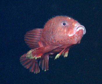 First live observations of a rare deep sea anglerfish mbari for Where do angler fish live
