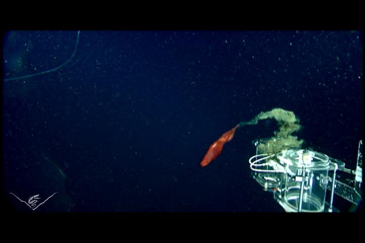 Pseudomorphs released by <em>Octopoteuthis deletron</em>