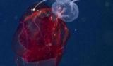 Aegina medusa feeds on a lobate ctenophore.