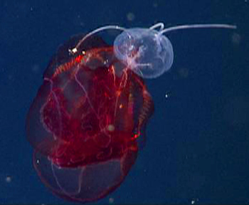 Aegina medusa feeds on a lobate ctenophore.