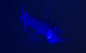 Blue light is cast upon the viperfish, Chauliodus macouni, to look for evidence of telltale fluorescence indicating light organs. We observed fluorescence in a close relative of this fish during our recent research mission to the Gulf of California, but we did not see anything glow on this viperfish. Steve is still working on the correct configuration of the blue LED array, so we will try again another day.