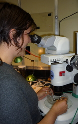Freya Goetz observes Nanomia bijuga under the microscope.
