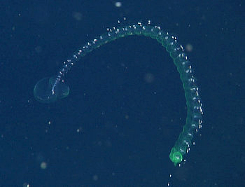 The beautiful green siphonophore, Lilyopsis fluoracantha, was described by Steve and his colleagues in 2005. It exhibits brilliant green fluorescence under blue light conditions.