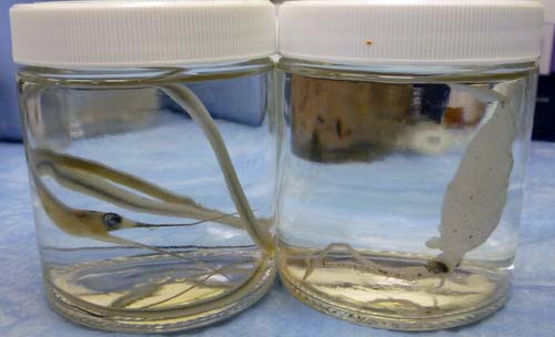 A juvenile snipe eel and a glass squid from the tucker trawl will be taken back to Brown University for further observations.