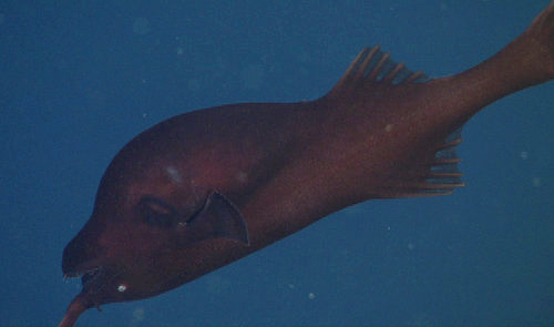 Today was the first time we have ever filmed this species of Gigantactis (whipnose anglerfish) with MBARI's ROVs. The natural orientation for this fish is what we might consider upside down.