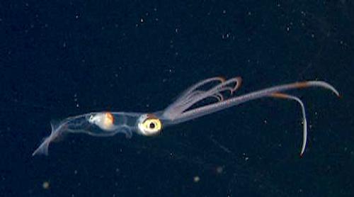 The swordtail squid, Chiroteuthis calyx.