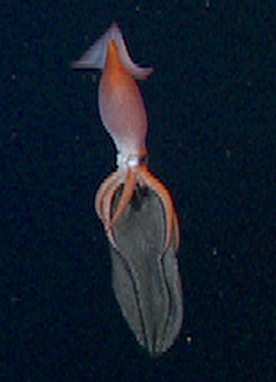 A brooding midwater squid—Gonatus with her egg sac.