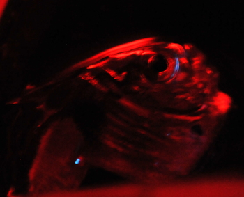 Blue light shines from photophores under the hatchetfish's eye and near its tail. In the lab, the animals are kept under red light because they are not used to white light and it may affect their bioluminescent capabilities.