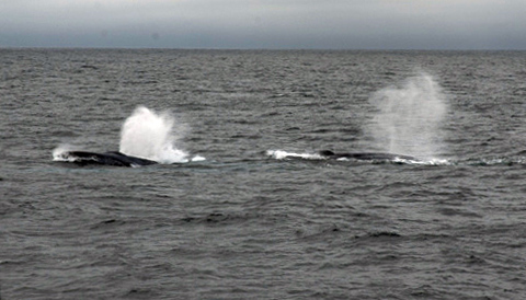 Today we were visited by some humpback whales that appeared to be feeding on the surface.